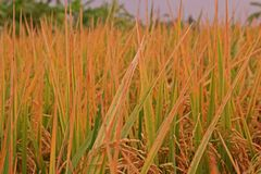 Rice leaves disease under proper condition for pathogen,high humidity Stock Photo