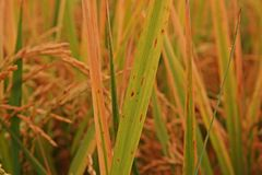 Rice leaves disease under proper condition for pathogen,high humidity Stock Photography