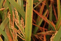 Rice leaves disease under proper condition for pathogen,high humidity Stock Photos