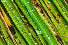 Rice leaves  with some drops of water Royalty Free Stock Photos