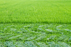 Rice leaves were cut before the ear Royalty Free Stock Image