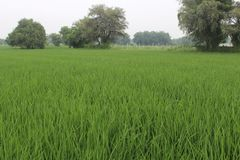 Rice live Field royalty free stock photography