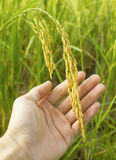 Rice in man hands. Stock Photo