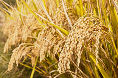 Free Rice Mature In The Autumn Stock Photo - 47264360