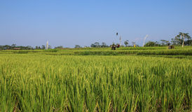 Rice maturing in the field Royalty Free Stock Photo