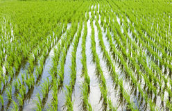 Rice meadow Stock Images
