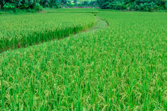 Rice meadow landscape Stock Photos