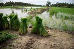 Rice. In the morning, the rice seedlings are collected Royalty Free Stock Photos