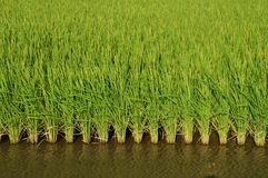Paddy field. Rice is the most important ingredient for Japanese people, and rice appears on the table as much as it can be said for sure on three meals Stock Images