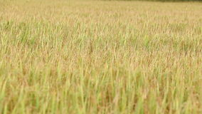 Rice moving in the wind stock video footage