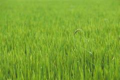 Rice na polu Obraz Royalty Free