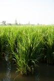Rice och ricefält. Arkivfoto