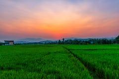 Rice odpowiada Mae Kon przy zmierzchem w Chiang Raja, Tajlandia fotografia stock