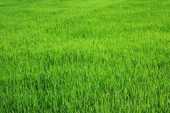Rice in the organic farms Stock Photos