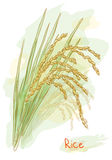 Rice (Oryza sativa). Watercolor style. Royalty Free Stock Photo