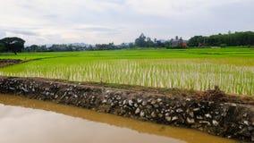 Rice Ostatnio zasadzający pola z irygacją Obrazy Royalty Free