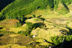 Rice pad of Sapa-Viet Nam Royalty Free Stock Photo