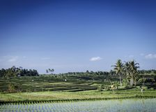 Rice paddie fields landscape view in south bali indonesia. Rice paddie fields rural farming landscape view near tabanan in south bali indonesia Royalty Free Stock Photo