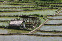 Rice paddies. And farm in Bali, Indonesia Royalty Free Stock Photo