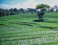 Rice Paddies Indonesia Stock Photo