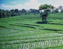 Rice Paddies Indonesia. Terraced rice fields, Java, Indonesia stock photo