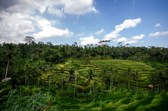 Rice paddies Royalty Free Stock Photography