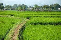 Rice Paddies Stock Photos