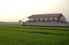 Rice Paddies Royalty Free Stock Image
