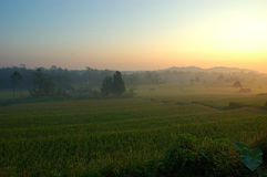 Rice Paddies Royalty Free Stock Photo