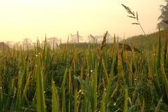 Rice Paddies Stock Images