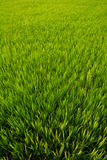 Rice Paddies in Asia Royalty Free Stock Images