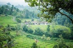 Rice paddies Stock Image