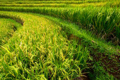 Rice paddies on Bali island, Indonesia Royalty Free Stock Photo