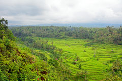 Rice paddies, Bukit Jambul, Bali, Indonesia Royalty Free Stock Photo