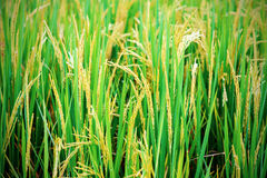 Rice paddies Stock Photo