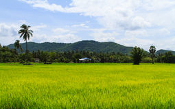 Rice paddies field. With blue sky in planting season Royalty Free Stock Photo