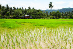Rice paddies field Stock Photo