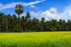 Rice paddies field. In planting season Royalty Free Stock Photography