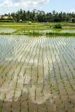 Rice paddies field at Ubud on Bali Royalty Free Stock Photo
