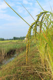 Rice paddies. Golden rice paddies waiting harvest in the rural Thailand Royalty Free Stock Photos