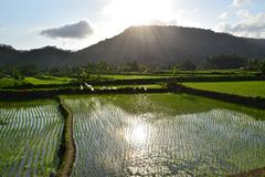 Rice paddies Royalty Free Stock Images