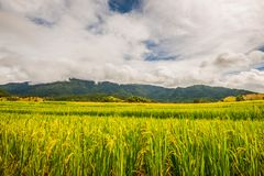 Rice paddies on high 33. Rice fields planted in Northern Thailand Stock Image