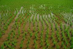 Rice paddy farming, India. Young rice plant field Stock Photos