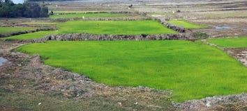Rice paddies and irrigation Royalty Free Stock Photo
