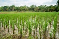 Rice paddies in Korat Stock Photo