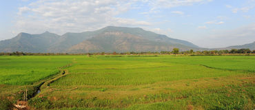 Rice paddies near Champasak Royalty Free Stock Photos