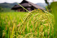 Rice paddies and old house Royalty Free Stock Image