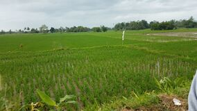 Rice paddies in Ormoc City, Leyte, Philippines
