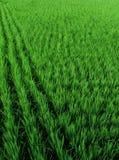 Rice Paddies of Taiwan. Green, wind-blown rice paddies of Taiwan, Dajia Royalty Free Stock Photography