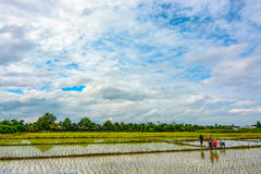 Rice paddies in the Thailand countryside being planted with new young plants. Flooded rice fields in the rural Thai countryside being prepared for a new season Stock Photo